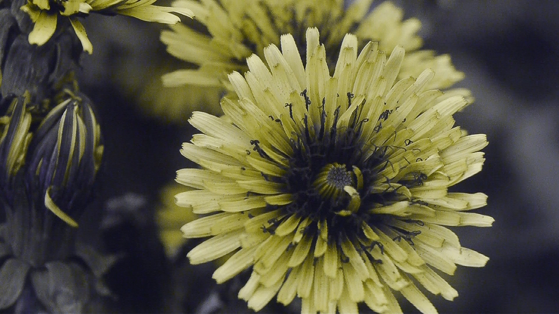 Attached Image: taraxacum screen dump from UV video.jpg