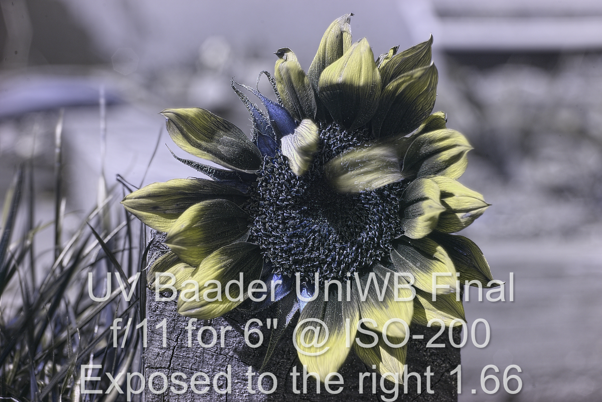Attached Image: helianthus_uvBaadSun_uniWbD3_20170408wf_803pn02.jpg
