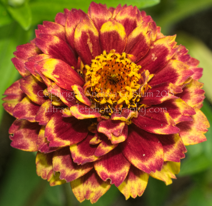Attached Image:   zinniaHaageana\'PersianCarpet\'VisFlash_071612swhME_28468origProofPn.jpg