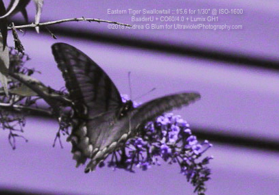 Attached Image: easternTigerSwallowtail_uvBaader_sun_co60_20180814wf_13123201.jpg