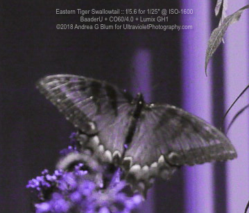 Attached Image: easternTigerSwallowtail_uvBaader_sun_co60_20180814wf_130228.jpg