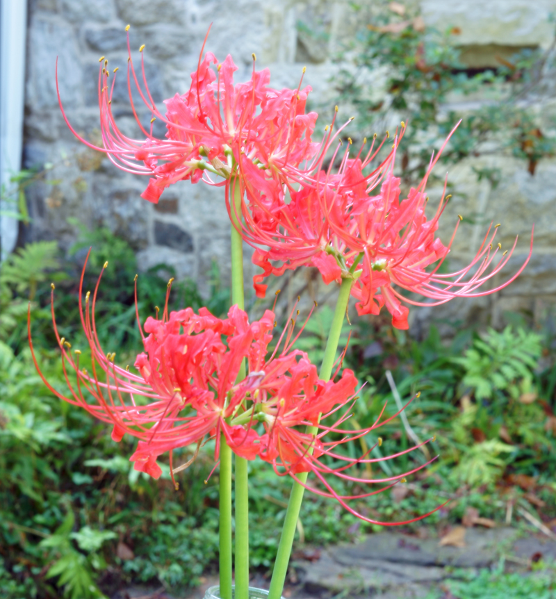 Attached Image: Lycoris radiata vis j small ex DSC00009.jpg