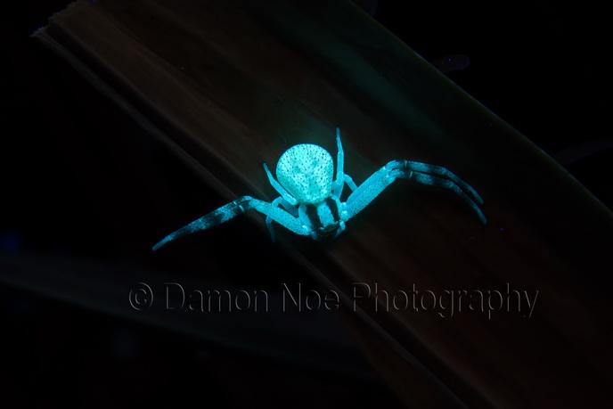 Attached Image: northernCrabSpider_uvivf_DamonNoe2014.jpg