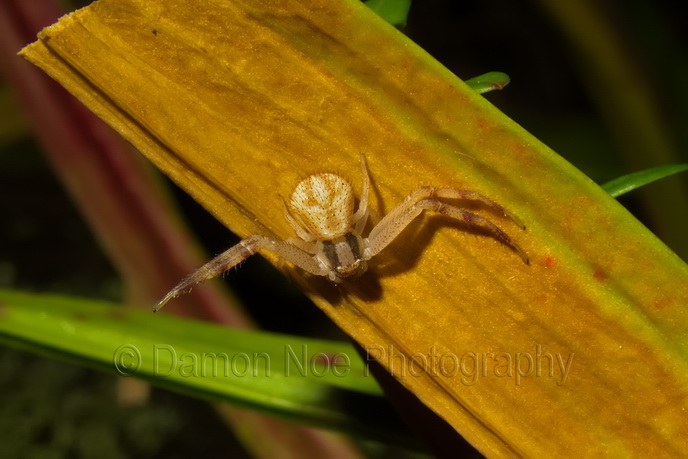 Attached Image: northernCrabSpider_visible_DamonNoe2014.jpg