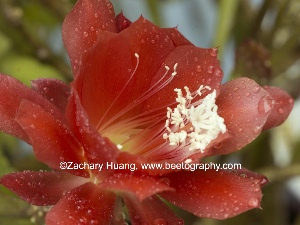 Attached Image: P1090990-disocactus-vis.jpg