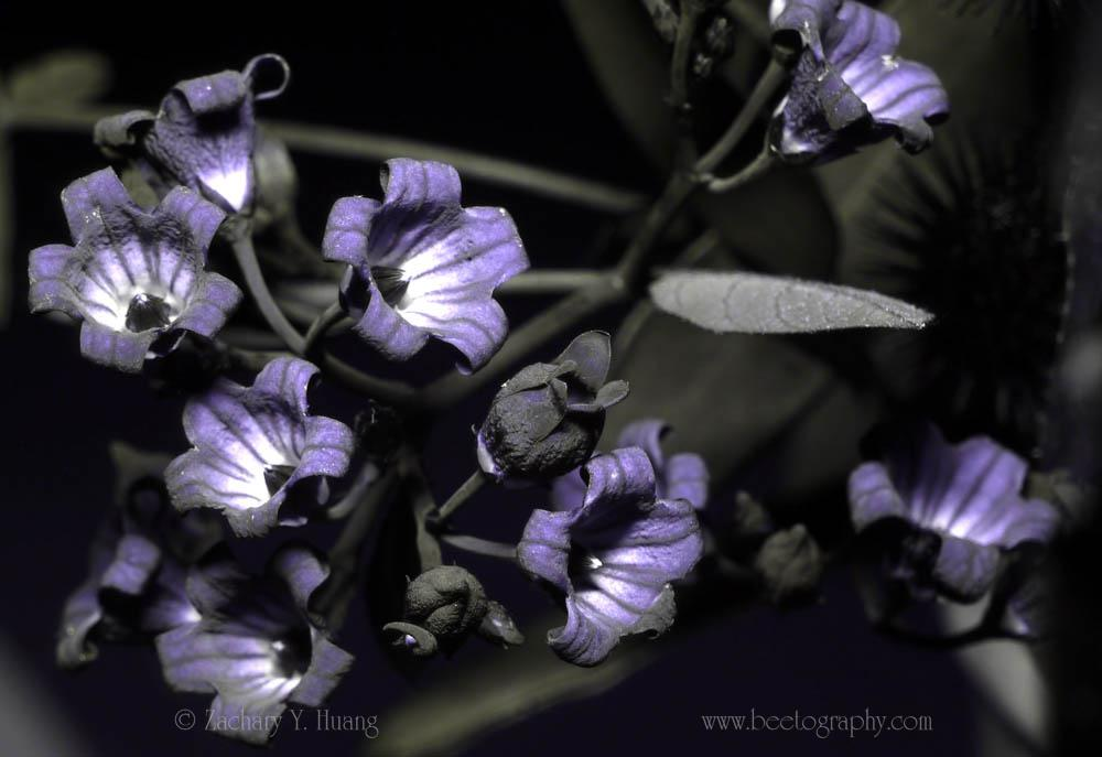 Attached Image: P1110506-dogbane-UV-s.jpg