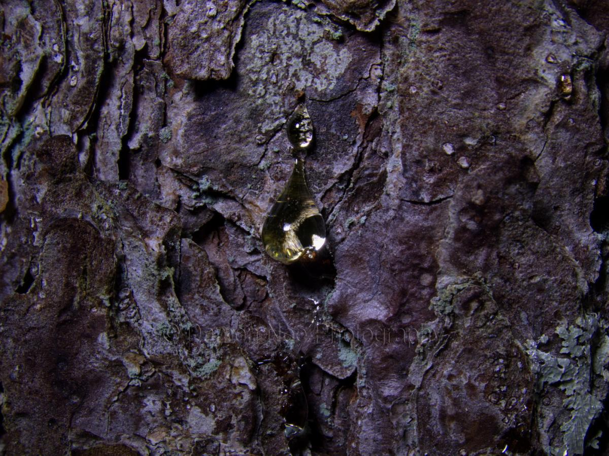 Attached Image: Pitch Pine Sap_Visible Light_Macro©DNoe_resize.jpg