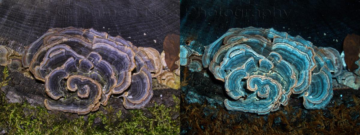 Attached Image: TurkeyTail_Visible Light & UV Induced Fluorescence©DNoe_resize.jpg